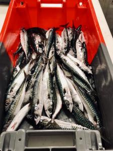 Maquereau poisson en expédition